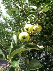 applesonbranch